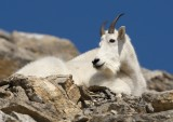 Mountain Goat male