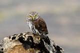 Northern Pygmy-Owl 1