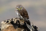 Northern Pygmy-Owl 2