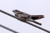 Common Nighthawk on a wire