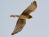 Northern Harrier overhead
