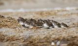 Dunlin flock roosting