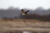 Cooper's Hawk, Gooseberry Neck