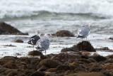 Lesser Black-Backed Gull with Herring Gulls, Gooseberry Neck