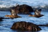 Common Eiders, Gooseberry Neck
