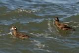 Harlequin Duck females, Gooseberry Neck