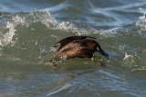 Harlequin Duck diving, Gooseberry Neck