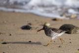 Purple Sandpiper, Gooseberry Neck