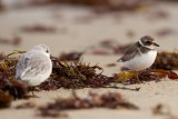 late Semipalmated Plover, Gooseberry Neck