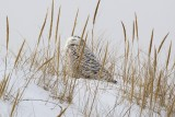 My first Snowy Owl of 2015, at Crane Beach, Ipswich