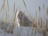 Snowy Owl at Crane Beach, Ipswich