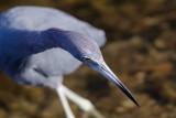 Little Blue Heron, Ding Darling March 2015