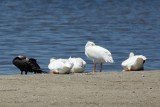 White Pelicans and Double-Crested Cormorant, Ding Darling March 2015