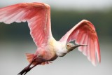 Roseate Spoonbill, Ding Darling March 2015