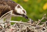 Osprey mom feeding chick