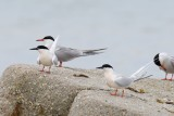 Roseate terns with common terns - Black Beach West Falmouth 1