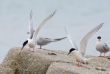 Roseate terns with common terns - Black Beach West Falmouth 2