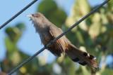 Great Lizard-Cuckoo (immature)