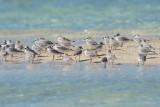 piping plover flock, cays south of South Andros, Bahamas