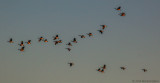 Canadian Geese at First Light