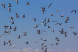 Canadian Snow Geese