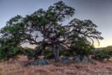 Majestic Engelmann Oak