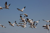 Ross's Geese take flight