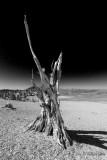 Bristlecone Pine at 11,400'