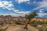 The lonely Pinyon Pine
