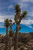Joshua Trees, Desert