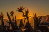 Bird of Paradise, California Sunset