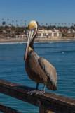 Califonia Brown Pelican