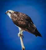 An Osprey looks for Breakfast