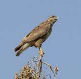 14. Common (Western Steppe) Buzzard - Buteo buteo vulpinus