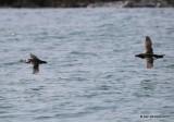 Atlantic Puffin being chased by a Razorbill, Machias Seal Island, ME, 7-12-15, Jpa 2336.JPG