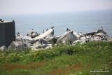 Blind, Machias Seal Island, ME, 7-12-15, Jpa_2060.JPG