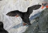 Atlantic Puffin back, Machias Seal Island, ME, 7-12-15, Jpa_1649.jpg