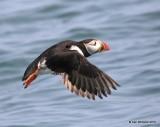 Atlantic Puffin flying, Machias Seal Island, ME, 7-12-15, Jpa_2388.jpg