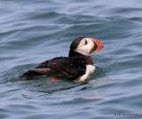 Atlantic Puffin, Machias Seal Island, ME, 7-12-15, Jpa_2389.jpg