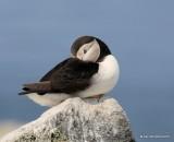 Atlantic Puffin, Machias Seal Island, ME, 7-12-15, Jpa_1578.jpg