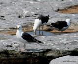 Greater Black-backed Gulls, Cutler, ME, 7-12-15, Jpa_1892.jpg