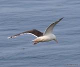 Greater Black-backed Gull, Cutler, ME, 7-12-15, Jpas_2597.jpg