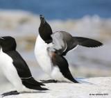 Razorbill, Machias Seal Island, ME, 7-12-15, Jpa 1540.jpg