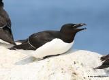 Razorbill, Machias Seal Island, ME, 7-12-15, Jpa_1590.jpg