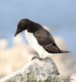 Razorbill, Machias Seal Island, ME, 7-12-15, Jpa_1674.jpg
