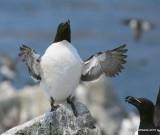 Razorbill, Machias Seal Island, ME, 7-12-15, Jpa_2027.jpg