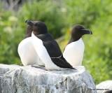 Razorbills, Machias Seal Island, ME, 7-12-15, Jpa 1332.jpg