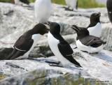 Razorbills, Machias Seal Island, ME, 7-12-15, Jpa 1436.jpg