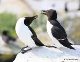 Razorbills, Machias Seal Island, ME, 7-12-15, Jpa_1321.jpg