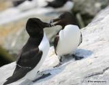 Razorbills, Machias Seal Island, ME, 7-12-15, Jpa_2012.jpg